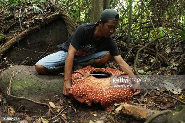 An Indonesian man measures a sevenpetal giant flower 'Rafflesia arnoldii' in Padang Guci Bengkulu on Indonesia's Sumatra island on January 17 2018...