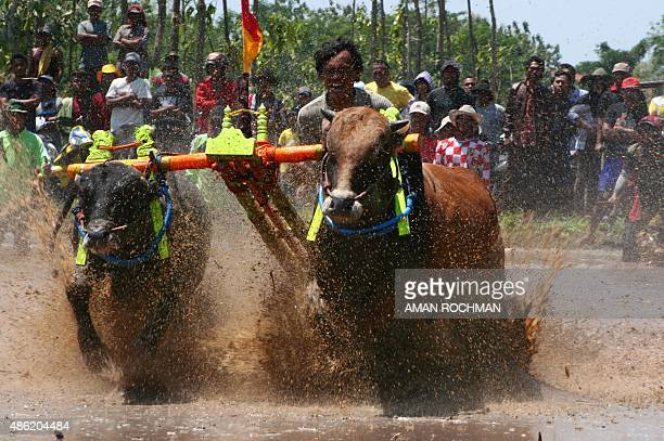 An Indonesian man rides two bulls in a bull race locally called Karapan Brujul in Probolinggo on September 2 2015 The bull races are a common...