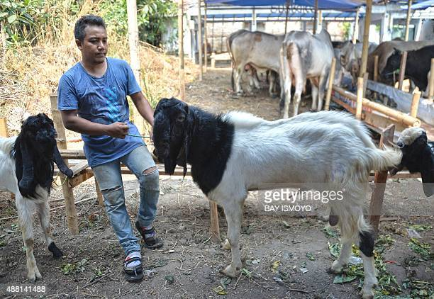 An Indonesian merchant holds the rope of his goat while waiting for customers in downtown of Jakarta on September 14 2015 prior to the eve of the...