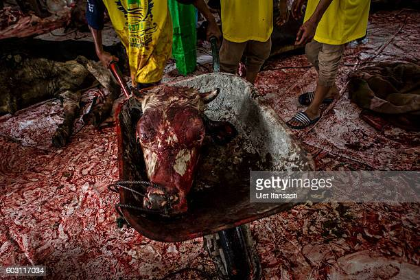 An Indonesian Muslim child carries the head of a cow after being slaughtered during celebrations for Eid alAdha at Jogokaryan mosque on September 12...