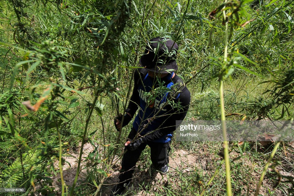 Indonesian Police Destroy Illegal Marijuana Plantation