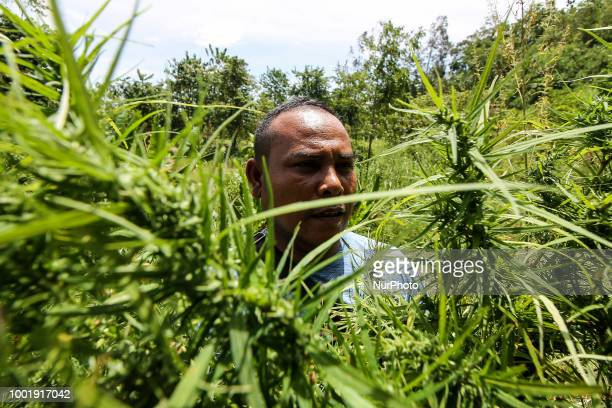 An Indonesian policeman destroys marijuana plants during an attack on a marijuana plantation in North Aceh on July 19 Aceh Indonesia Indonesian...