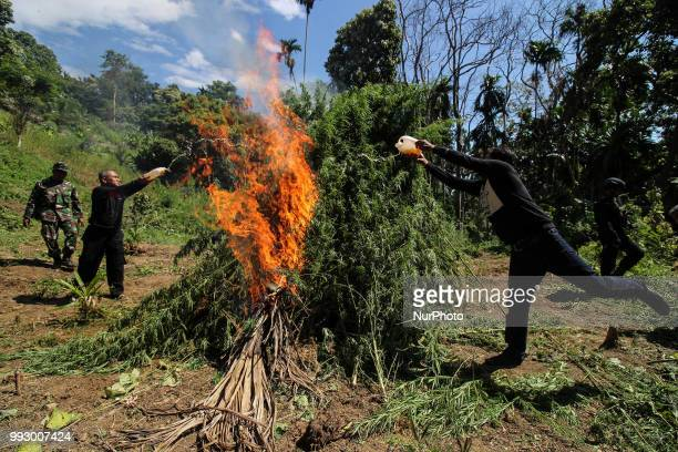 An Indonesian policeman destroys marijuana plants during an attack on a marijuana plantation in North Aceh on July 6 Aceh Indonesia The Indonesian...