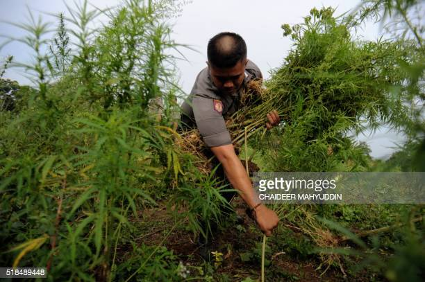 An Indonesian policeman takes part in an operation to destroy 189 hectares of marijuana fields in Lamteuba village in Aceh Besar Aceh province on...