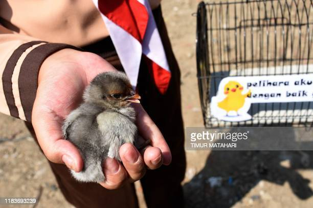 An Indonesian pupil holds a chick given by local officials as part of a programme to wean schoolchildren off smartphones in Bandung West Java on...