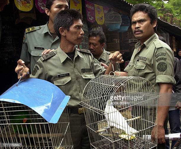 An Indonesian ranger holds two cage contained cockatoo birds, , during a protected animal raid in Jakarta 14 March 2003. Numbers of rangers and...