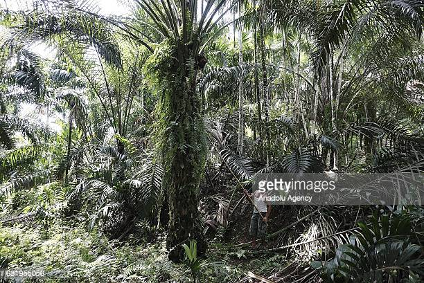 An Indonesian worker harvests palm fruits at a palm oil plantation in Kuwala village Kutalimbaru Deli Serdang North Sumatra Indonesia on January 18...