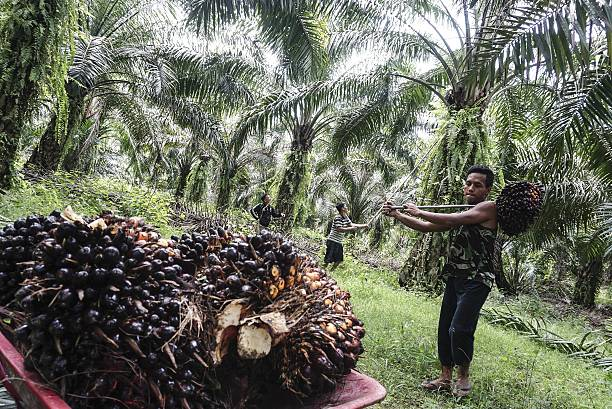 Palm Oil Culture In Indonesia Pictures  Getty Images