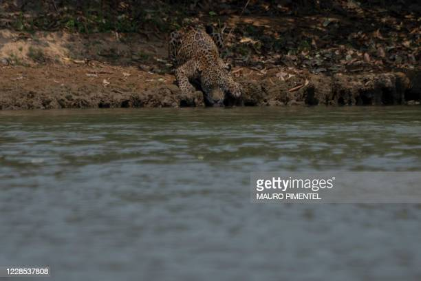 An injured adult male jaguar drinks water along the bank of a river at the Encontros das Aguas Park, in the Porto Jofre region of the Pantanal, near...
