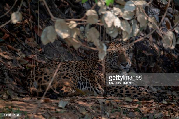 An injured adult male jaguar rests along the bank of a river at the Encontros das Aguas Park, in the Porto Jofre region of the Pantanal, near the...