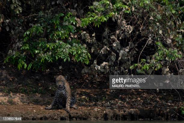 An injured adult male jaguar sits on the bank of a river at the Encontros das Aguas Park, in the Porto Jofre region of the Pantanal, near the...