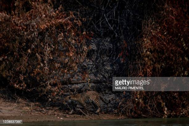 An injured adult male jaguar walks along the bank of a river at the Encontros das Aguas Park, in the Porto Jofre region of the Pantanal, near the...
