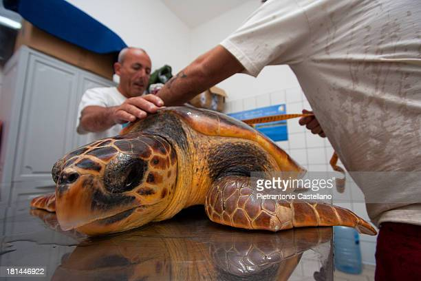 CONTENT] An injured and cured sea turtle that has fully recovered is measured and weighed before being liberated at sea