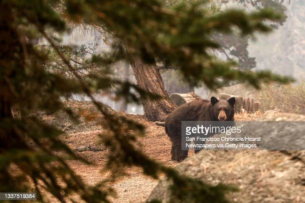 An injured black bear walks behind a home in a neighborhood off of Pinewood Drive after escaping flames from the Caldor Fire in Meyers, Calif. On...