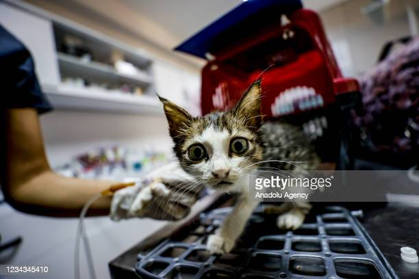 An injured cat receives treatment at a veterinary clinic by volunteer vets after a forest fire that broke out in Manavgat district of Turkeyâs...
