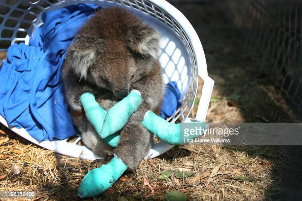 An injured koala rests in a washing basket at the Kangaroo Island Wildlife Park in the Parndana region on January 08 2020 on Kangaroo Island...
