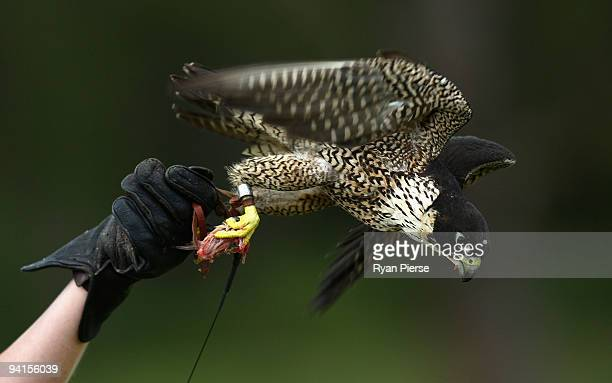 An injured Peregrine Falcon is fed as he takes a flying lesson as part if his rehabilitation with zoo keepers at Taronga Zoo on December 9, 2009 in...