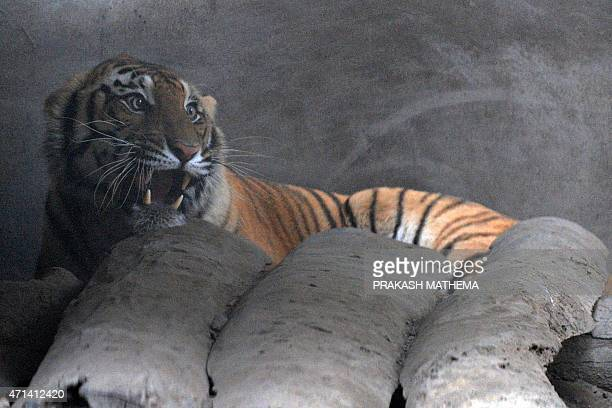 An injured royal bengal tiger is seen inside an enclosure set up by park rangers at Kashara in Chitwan National Park some 200kms southwest of...