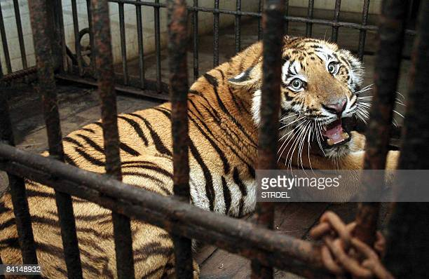 An injured young Royal Bengal Tiger roars as it sits in a cage of Alipore Zoo in Kolkata on December 31 after being brought from The Sunderbans The...