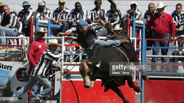 An inmate attempts to ride a bull as other inmates look on during the Angola Prison Rodeo at the Louisiana State Penitentiary April 23 2006 in Angola...
