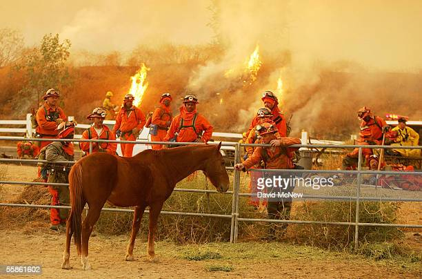 An inmate fireman from Camp Bautista tries to entice a horse with an apple as flames burn near while taking a break after a full night of fighting...