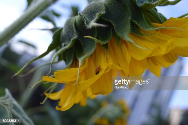 An insect is seen on a sunflower at a small garden in Ankara Turkey on July 05 2017