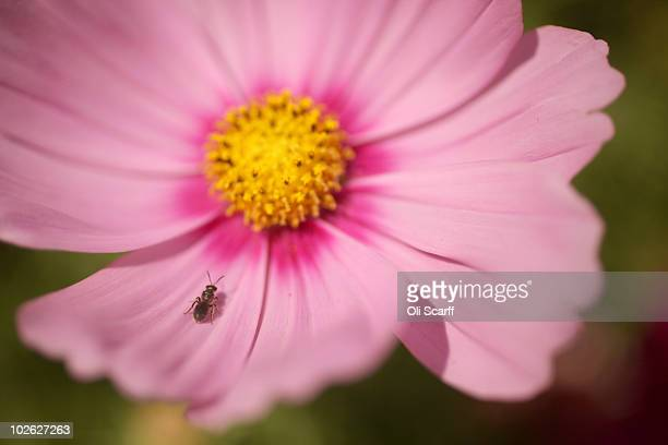 An insect rests on a petal of a flower during the press preview day of the Hampton Court Palace Flower Show on July 5 2010 in London England The 21st...