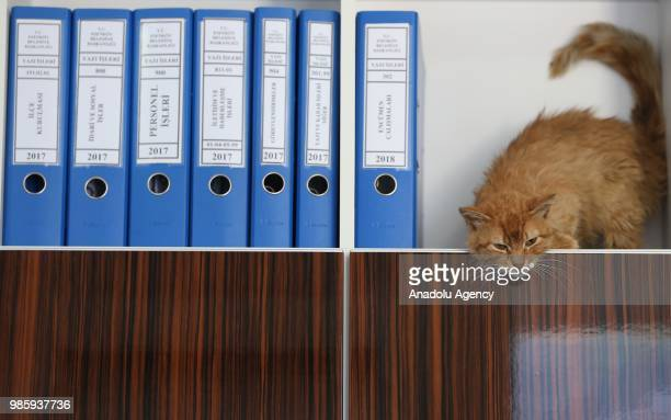 An inside view of an office at Esenkoy Town Municipality as a cat stands in the shelf between files at Cinarcik district of Yalova province in Turkey...