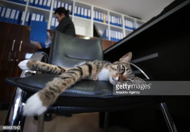 An inside view of an office at Esenkoy Town Municipality as a cat lies on the chair at Cinarcik district of Yalova province in Turkey on June 27 2018...