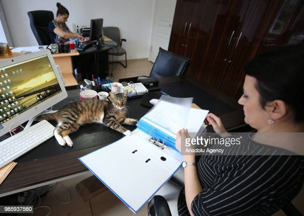 An inside view of an office at Esenkoy Town Municipality as a cat lies on the desk at Cinarcik district of Yalova province in Turkey on June 27 2018...