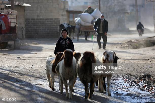 An Internally Displaced Syrian woman fled from East Ghouta region as Assad Regime violates the ceasefire on ongoing civil war herds sheeps at a...