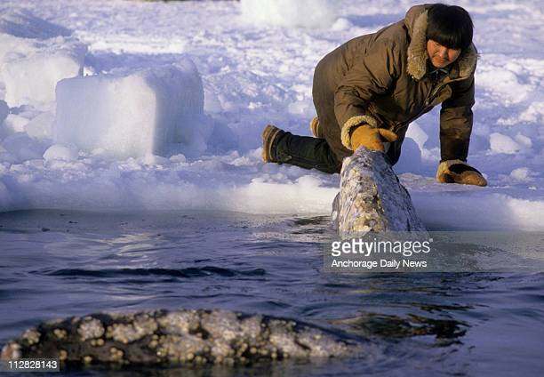 An Inupiat Eskimo touches a California gray whale on the nose as it rests in one of the breathing holes carved into the Beaufort Sea ice off Point...