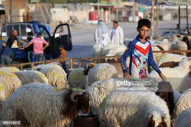 An Iraqi boy stands amid sheep at a livestock market in the southern city of Basra on September 21 ahead of the Muslim feast of Eid alAdha Muslims...
