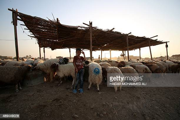 An Iraqi boy stands at a livestock market in the southern city of Basra on September 21 ahead of the Muslim feast of Eid alAdha Muslims across the...