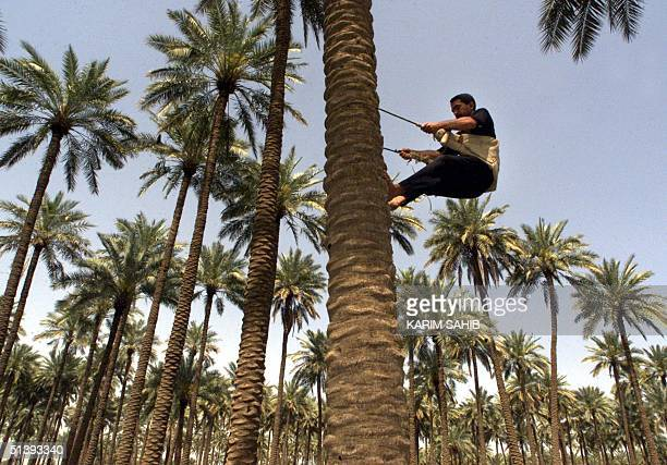 An Iraqi farmer climbs on a palm tree to pick up dates near Baghdad 01 April 2001. More than 22 million palm trees are artificially inseminated every...