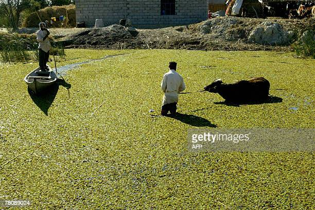 An Iraqi man rides his canoe past a man helping his cow cross through the marshes area near the southern city of Nasiriyah, 25 November 2007. Iraq's...