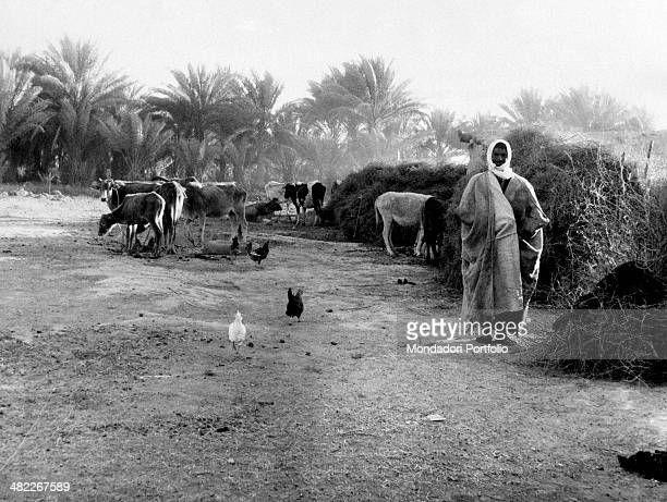 An Iraqi man wearing a tunic looking after bovines and hens Iraq December 1956