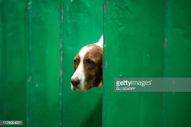 An Irish red and white setter looks out from its pen on the first day of the Crufts dog show at the National Exhibition Centre in Birmingham central...