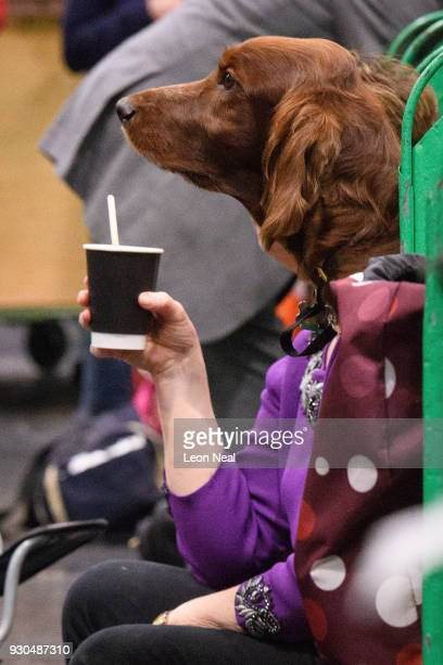 An Irish Setter appears to hold a drink on day four of the Cruft's dog show at the NEC Arena on March 11 2018 in Birmingham England The annual...