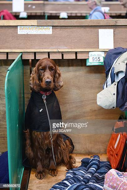 An Irish Setter dog rests in its stall on the first day of the Crufts dog show at the National Exhibition Centre in Birmingham central England on...