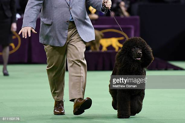An Irish Water Spaniel competes in the Sporting Group during the second day of competition at the 140th Annual Westminster Kennel Club Dog Show at...