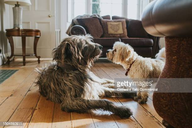 an irish wolfhound and a white poodle are face-to-face in a domestic room - mammal stock pictures, royalty-free photos & images
