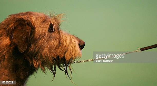 An Irish Wolfhound is judged during the 102nd Crufts dog show on March 10 2005 in Birmingham England Over 23000 top pedigree dogs from around the...
