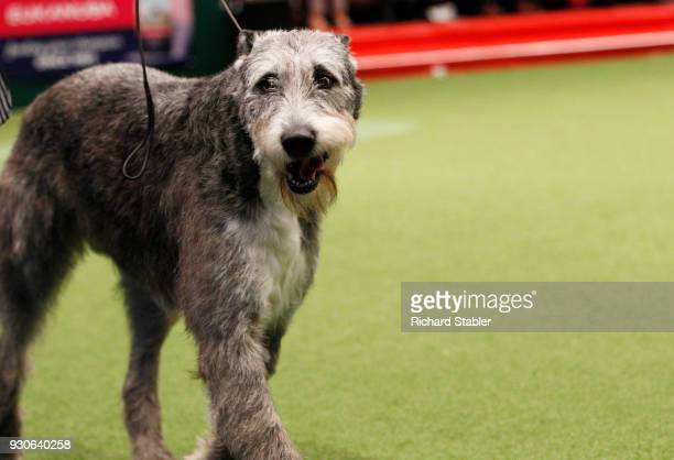 An Irish Wolfhound showing on day three of the Cruft's dog show at the NEC Arena on March 10 2018 in Birmingham England The annual fourday event sees...