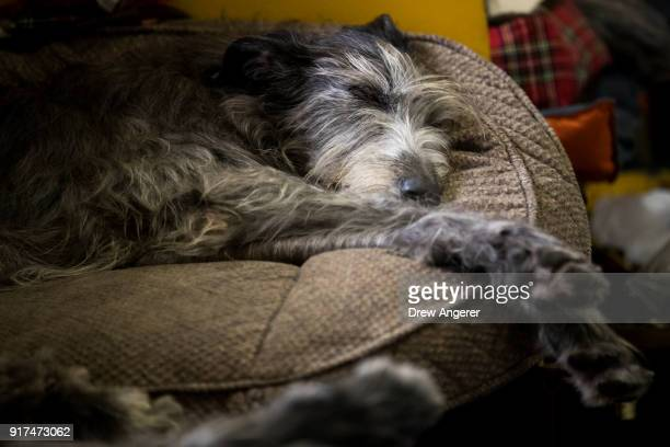 An Irish Wolfhound sleeps in the grooming area at the 142nd Westminster Kennel Club Dog Show at The Piers on February 12 2018 in New York City The...