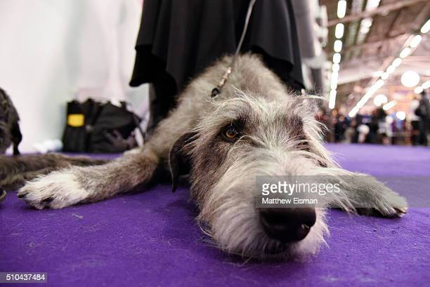 An Irish Wolfhound waits in the grooming area during the first day of competition at the Westminster Kennel Club 140 Annual Dog Show on February 16...