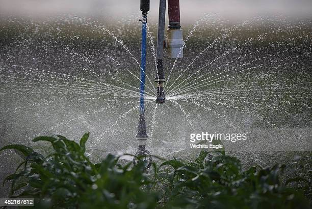 An irrigation pivot sprays water onto a young corn crop in Grant County Kansas Water from the Ogallala aquifer the main water source for farmers in...