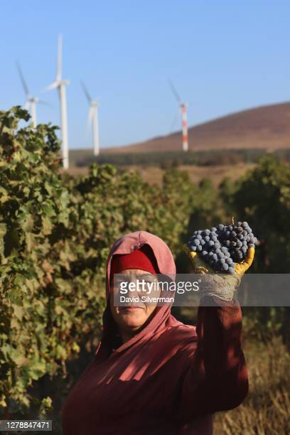An Israeli Arab worker picks Cabernet Sauvignon grapes for Bazelet Hagolan winery on its last day of the 2020 harvest on October 5, 2020 at Tel Mahfi...