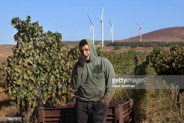 An Israeli Arab worker tastes Cabernet Sauvignon grapes picked for Bazelet Hagolan winery on its last day of the 2020 harvest on October 5, 2020 at...
