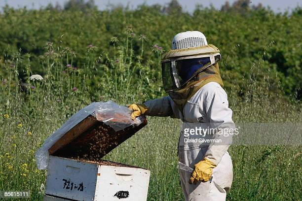 An Israeli beekeeper tends to his beehives as he prepares them to pollinate a citrus grove just coming into blossom at the start of spring March 26...